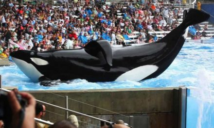 "Performing animal attraction says it is ""completely impossible"" to free orcas into the sea"