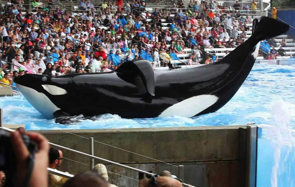 """Performing animal attraction says it is """"completely impossible"""" to free orcas into the sea"""